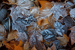 Frozen Leaves #2 (PeteZab) Tags: nottingham uk england texture nature leaves frozen frost decay fallen 2012 canoneos50d petezab peterzabulis sigma1770f284dcmacroos