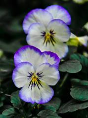 Winter wonderland. (Omygodtom) Tags: park autumn winter wild flower green oregon garden nikon purple bokeh pansey