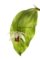 Coelogyne usitana (ThrutheFrame) Tags: red orchid flower green leaf whitebackground species highkey epiphyte coelogyne usitana canon5dmark3 thrutheframe sigma150mm28osapomacrodghsm