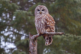 Barred Owl 3, Ottawa, Canada