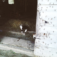 cat farm (ohpapercut) Tags: wisconsin barn cat farm kitty ohpapercut