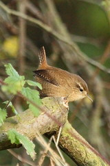 wren_1263 EXPLORED 23/11/2012 #394 (WendyCoops224) Tags: brown bird canon eos tint stump perch wren loud fidgety 600d 100400mml trogolydytes