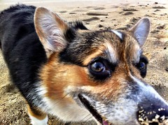 Untitled (theuser) Tags: thanksgiving vacation hawaii corgi ewabeach