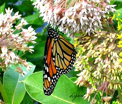 She looks like stained glass she does. (Lynn English) Tags: garden monarchbutterfly summer2012