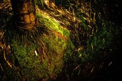ROOT (Lai Philip CHAN) Tags: china sea nikon bamboo southern chan lai root sichuan philip d300 laichan philip301090