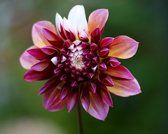 Dahlia (Liisamaria) Tags: flowers ngc amazingnature flowersflowersflowers heartawards worldofflowers macrolovers flowersarefabulous qualitypixels awesomeblossoms oneflowerperday perfectpetails flowersonflickr sublimeflowershot flowerthequietbeauty asingleflowers exquisitegorgeousflowers ftqb