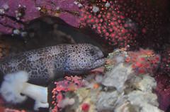 Wolf-eel (ajblake05) Tags: fish canada animals vancouver britishcolumbia northamerica stanleypark vancouveraquarium captive vertebrates lowermainland greatervancouver wolfeel vertebrata anarrhichthysocellatus anarhichadidae
