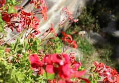 Hummingbird Hawk-moth (Macroglossum stellatarum) - Crioara, Jud. Sibiu, Romania (Wayne W G) Tags: europe moth lepidoptera romania moths easterneurope sibiu hawkmoth macroglossum stellatarum hawkmoths geo:country=romania cartisoara crioara sphigidae