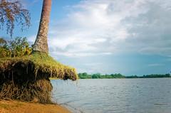 DSC_9713 (mohdhanafiah) Tags: tree river landscape laut malaysia kuala kelapa terengganu muara pokok setiu nikond40 kampungmangkuk afsdxnikkor35mmf18g