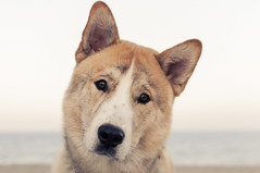 From Ear To Ear (AnthonyTulliani) Tags: dog cute beach face fur nose eyes adorable ears doggy curious snout