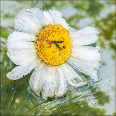 Ox Eye On Ice (*ian*) Tags: winter white cold flower macro ice nature yellow closeup square frozen flora frost crystal freezing frosty pistil petal stamen daisy bloom pollen favourite asteraceae stigma icecrystal anther oxeyedaisy leucanthemumvulgare bigemrg bigdaisy