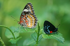 A rare combination! Two colorful butterflies sit together on a Porterweed... a Malay Lacewing and an iridescent blue Atala! (jungle mama) Tags: ngc lacewing atala fairchildgarden mfcc fairchildtropicalbotanicgarden supershot thegalaxy malaylacewing cethosiahypsea specanimal fabuleuse sciencevillage coth5 mygearandme atalaeumaeus wingsofthetropics