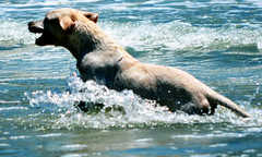 dog running (Digo_Souza) Tags: sea brazil dog chien naturaleza seascape co praia beach nature animal cane brasil strand swimming natation court mar cabo labrador rj schwimmen wildlife natureza natur playa natura running hond perro hund cachorro che das plage   nadando frio spiaggia qui conchas tier corriendo corre correndo reino natacin          aard luft    frflja    animlia