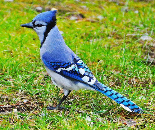 Dry brush texture added to this Blue Jay!!!
