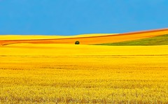 North Dakota Fields of Gold (JamesWatkins) Tags: summer usa painterly color art nature beautiful america landscape gold golden landscapes midwest flickr poetry unitedstates artistic unitedstatesofamerica fineart panoramas bluesky northdakota northamerica summertime blueskies poems nikkor naturalbeauty americathebeautiful photoart impressionist impressionistic poets 2012 digitalphotography beatifulscenery colorandlight bluehorizon nikkon brightsunshine beautifulsky blueandgold uppermidwest fieldsofgold goldenfields beautifulnature fieldofgold digitalphotographs beautifulskies naturesbeauty summerfields artandnature picturesandpoetry digitallandscapes nikkor18200vr beautyofnature artandpoetry summerlandscapes jameswatkins poetryandpicturesinternational creativewriter natureandlandscapes artandphotography beautyofcreation incrediblenature poemsandpictures picturesandpoems summerlandscape natureandpoetry fieldsofsummer colorfullandscapes artandpoems natureandpoems northdakotalandscapes northdakotafields