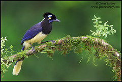 Plush-crested Jay (Cyanocorax chrysops) (Glenn Bartley - www.glennbartley.com) Tags: bird southamerica birds animal animals wildlife bolivia aves birdwatching animalia avian glennbartley plushcrestedjaycyanocoraxchrysops