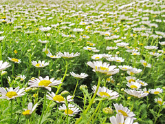 field of daisies (rikstal) Tags: flowers flower green daisy flowerpicturesnolimits