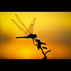 Dragonfly at the sunset (-clicking-) Tags: sunset macro nature beautiful beauty silhouette yellow backlight golden wings natural dragonfly bokeh insects lovely goldensunset goldenhour bestcapturesaoi elitegalleryaoi