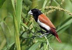 Monjita Tricolor - Tricolored Munia (Lonchura malacca) (Dax M. Roman E.) Tags: republicadominicana lonchuramalacca cotui laespañola tricoloredmunia lahispaniola monjitatricolor daxroman