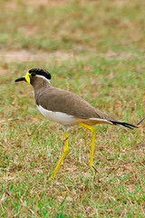 Yellow Wattled Lapwing (ramsfotobites - my experiments with light) Tags: wild india white black nature birds yellow natural wildlife birding aves lapwing migratory migration endemic birdwatching backwaters avian 2012 nationalgeographic pulicat migrant birdphotography d90 vanellus malabaricus yellowwattledlapwing incredibleindia vanellusmalabaricus aviafauna yellowwattled ramsfotobites sirudavoor