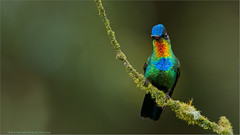 Fiery-throated Hummingbird (Raymond J Barlow) Tags: blue red orange green bird art nature fire costarica photographer wildlife teaching workshops 200400vr nikond300 raymondbarlowtours