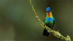 Fiery-throated Hummingbird (Raymond J Barlow) Tags: blue red orange green bird art nature fire costarica photographer wildlife teaching workshops 200400vr nikond300 raymondbarlowtours