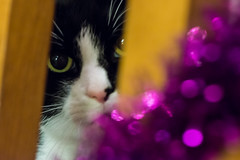 350/366 Peeping Through The Tinsel (Mark Seton) Tags: christmas blackandwhite pets cat events tinsel badger dailyphoto pictureaday project365 dailyphotograph project366350 project365161212