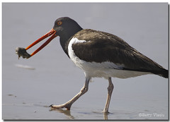 American Oystercatcher (Betty Vlasiu) Tags: bird nature wildlife american oystercatcher haematopus palliatus freedomtosoarlevel1birdphotosonly freedomtosoarlevel1birdsonly