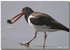 American Oystercatcher (Betty Vlasiu) Tags: bird nature wildlife american oystercatcher haematopus palliatus freedomtosoarlevel1birdphotosonly freedomtosoarlevel1birdsonly