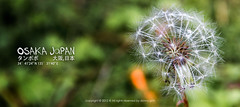 Dandelion Kyoto, Japan (dgbs86) Tags: summer white plant flower macro green nature grass horizontal closeup canon leaf spring colorful day softness seed fluffy nobody dandelion growth blank  backgrounds environment 5d osaka copyspace pollen idyllic spore wishing defocused  singleflower blowball 1635mm singleobject animalhead earthasia 5dmarkiii canoneos1635mmf28l
