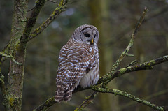 Barred Owl  8 (Arvo Poolar) Tags: nature outdoors wildlife raptor owl barredowl