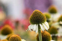 Imperfections (Irina1010) Tags: flowers coneflowers white petals imperfections bokeh macro nature canon ngc npc