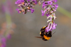 Bumblebee on duty (pkrippler) Tags: nature outdoor bokeh flower flowers bumblebee insect