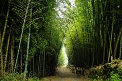 Bamboo Path (leopc.lin) Tags: nonai 28mm f35 nikkorh auto cpl
