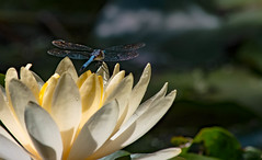 We will always be together even if it's just in my heart... (knoxnc) Tags: washingtondczoo bokeh nikon dragonfly nature dewdrops pond lilypad green insect depthoffield d7200 morningsunlight ngc npc