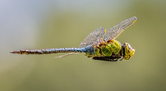 Dragonfly In Flight (Wes Iversen) Tags: anaxjunius baycity baycitystaterecreationarea michigan tamron150600mm dragonflies greendarners insects nature hbw bokehwednesday
