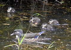 Wood Duck (f and ducklings) (glenbodie) Tags: glen bodie glenbodie 201619 colony wood duck female duckling