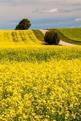 A Natural Beauty (stevenbulman44) Tags: canola summer calgary alberta landscape yellow sky tree road canon polarizer filter tripod 70200f28l gitzo color