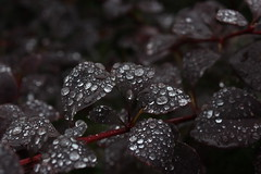 Waterdrops (mcginley2012) Tags: raindrops rain barberry water galway ireland nature