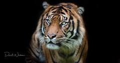Sumatran tiger (David Whelan Photography) Tags: bigcat sumatrantiger endangered tiger