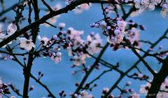 delicadeza naciente (ojoadicto) Tags: arbol tree ciruelo flowers flores ramas delicate delicada sweet artisticphotography