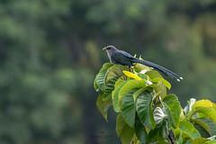(Showkat.Shuvro- ) Tags: showkatshuvro wildlifephotography nature bangladesh wildbirds explorebangladesh ngc sylhet snp
