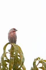 House Finch. (LisaDiazPhotos) Tags: lisadiazphotos house finch bird watching backyard birds