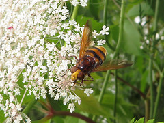 La Volucelle zone (Volucella zonaria) (Didier Auberget Photographie) Tags: eristalinae muscomorpha brachycera diptera noptre neoptera pterygota insecta macro insecte fly mouche syrphidae syrphe diptre syrphid eristalin volucella volucellazonaria volucellezone hoverfly flower fleur fleurdecarottesauvage carottesauvage daucuscarota