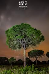 Entre pinares-02 (Andres Breijo http://andresbreijo.com) Tags: pino pinar pinares arbol arboles tree bosque forest noche night nocturna roche conil cadiz andalucia espaa linterna
