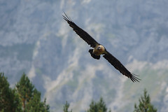 Gypate barbu (chmptr) Tags: animalier animal wildlife oiseau bird gypate barbu vulture bearded