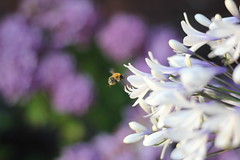 IMG_4114_Honey Bee (Julecu) Tags: agapanthus queenmum africanlily flower white bee nature summer august garden flowers