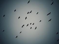 Soaring (Jon-F, themachine) Tags: birds jonfu 2016 olympus omd em5markii em5ii em5mkii em5mk2 em5mark2  mirrorless mirrorlesscamera microfourthirds micro43 m43 mft ft     snapseed japan  nihon nippon   japn  japo xapn asia  asian fareast orient oriental aichi   chubu chuubu   nagoya  outdoors  nature  flight flying bird animal animals   fauna  birdie birdy