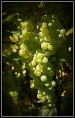 DSC01472  -  Weintrauben_01 (Max-Friedrich) Tags: ilce7rm2 sony variotessar42470 frchte obst herbst weintrauben outdoor landwirtschaft wein zeiss