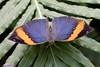 K46A8087 (Yvonne23021984) Tags: schmetterling butterfly hamm germany deutschland maxipark markro photography macrophotography canon canonphotography markofotografy canoneos7dmarkii insects insekten nature naturfotografie naturephotography closeup colorkey schmetterlinge butterflies